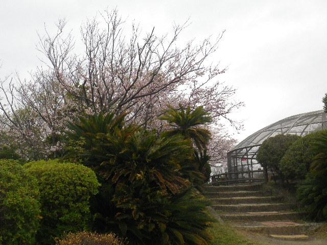 11) 15.04.01 「逗子市立 披露山公園」の桜
