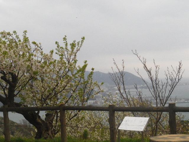 12-1) 15.04.01 「逗子市立 披露山公園」の桜