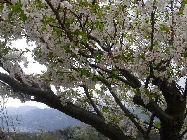 12-2) 15.04.01 「逗子市立 披露山公園」の桜