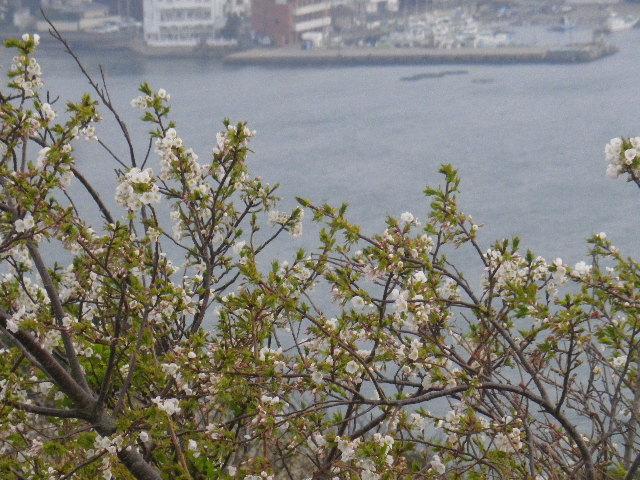 13-2) 15.04.01 「逗子市立 披露山公園」の桜
