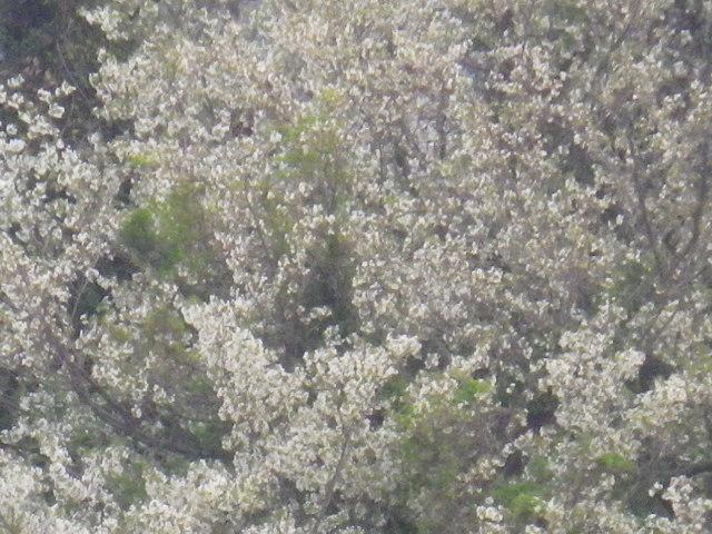 15-3) 15.04.01 「逗子市立 披露山公園」の桜