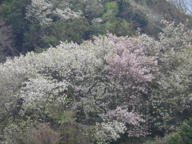 16-2) 15.04.01 「逗子市立 披露山公園」の桜
