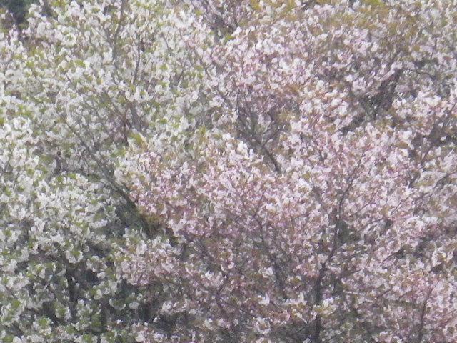 16-3) 15.04.01 「逗子市立 披露山公園」の桜