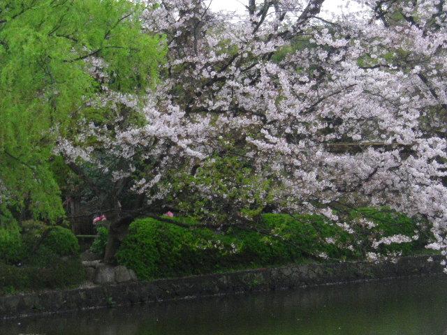 07) 15.04.04雨 鎌倉「鶴岡八幡宮」雨の観桜