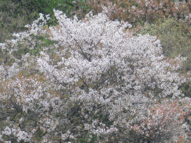 03) 在日米軍接収地_逗子市久木地域 の山桜
