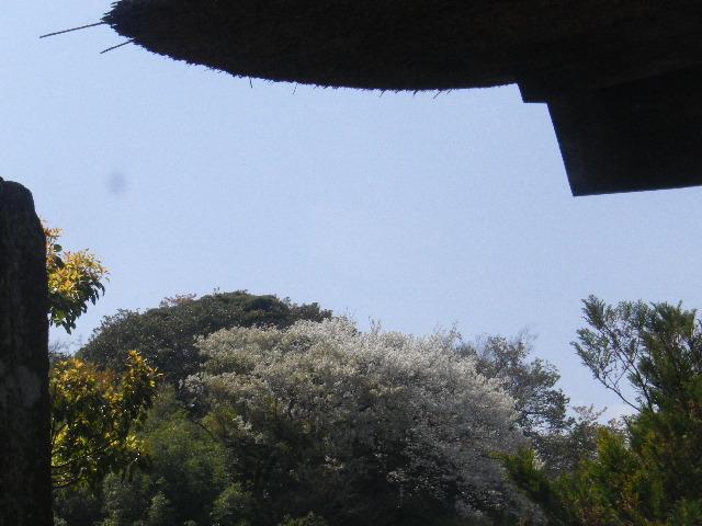 02) 15.04.06 鎌倉「極楽寺」桜が散り始める頃