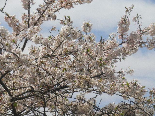 04-2) 15.04.06 鎌倉「成就院」桜咲く時期の終焉を見届ける
