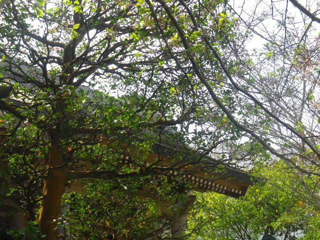 05-1) 15.04.06 鎌倉「成就院」桜咲く時期の終焉を見届ける