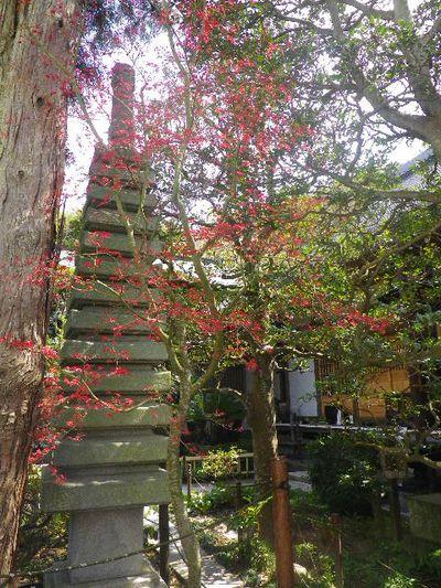 09) 15.04.06 鎌倉「成就院」桜咲く時期の終焉を見届ける