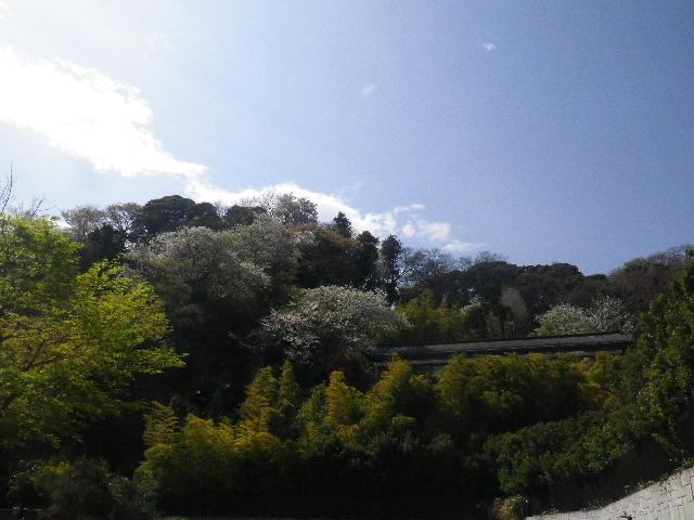 01-1)  15.04.06 桜咲く頃、鎌倉「長谷寺」を外部から眺めた。