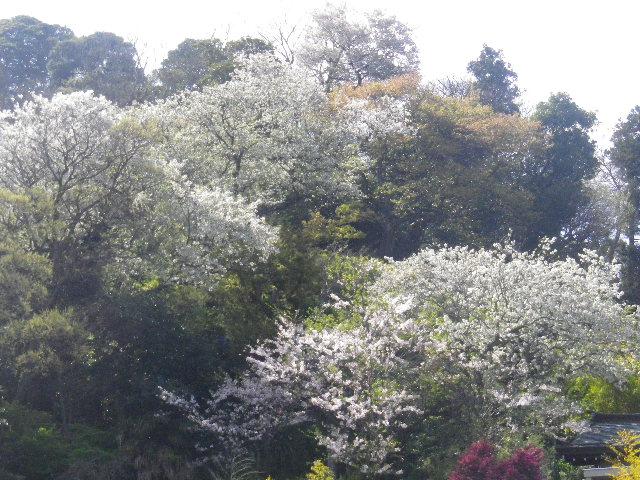 01-2) 15.04.06 桜咲く頃、鎌倉「長谷寺」を外部から眺めた。
