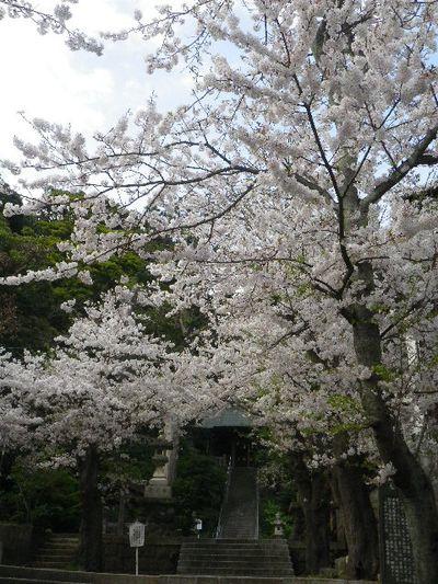 02) 15.04.06 ' 山の音 '、鎌倉最古「甘縄神明宮」桜の頃。