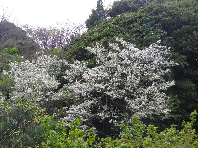 01-2-a) 自宅周辺の山桜