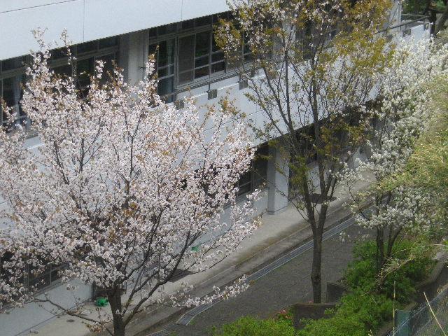 03-1-a) 鎌倉市立第一中学校校舎裏の桜