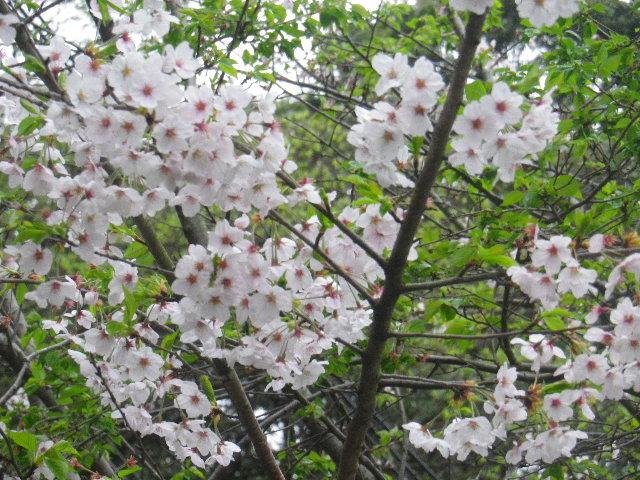 03-1-b) 校舎裏の桜