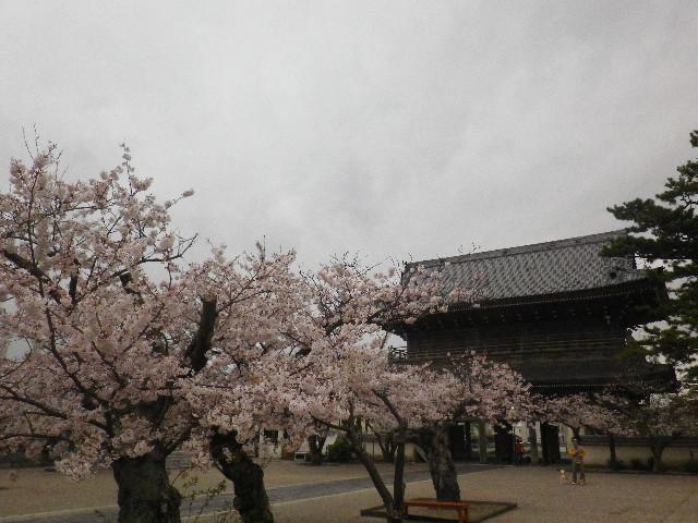 12-3) 光明寺の桜