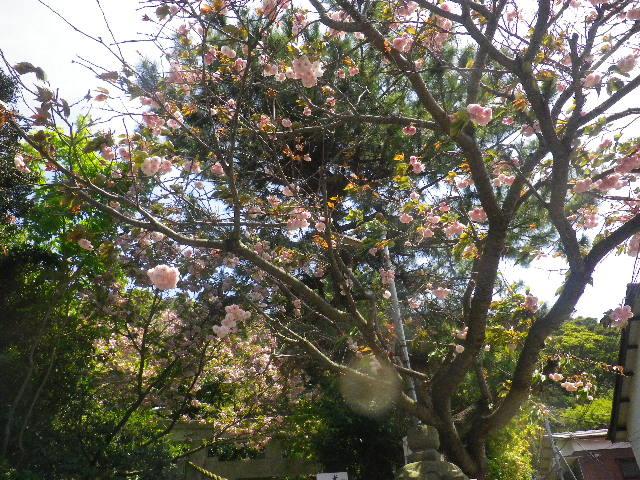 03-1) 15.04.24 鎌倉大町「八雲神社」の八重桜