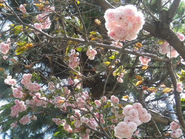 03-2) 15.04.24 鎌倉大町「八雲神社」の八重桜