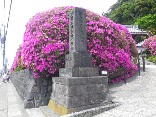 01-2) 15.05.05 ツツジがピークの、鎌倉「安養院」。