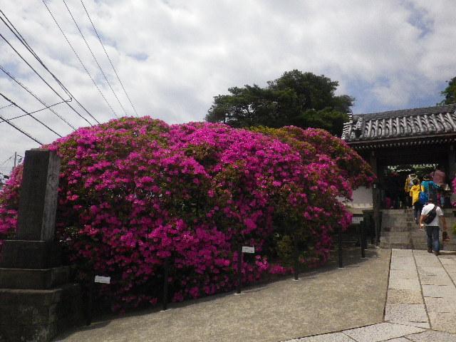 01-3) 15.05.05 ツツジがピークの、鎌倉「安養院」。