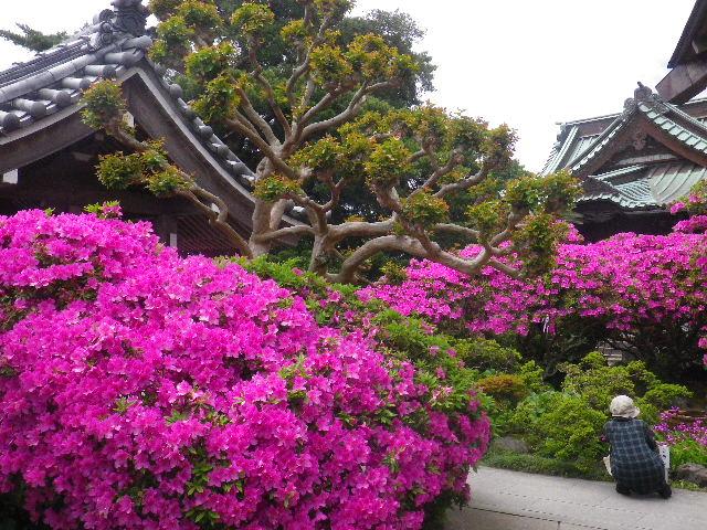 02-6) 15.05.05 ツツジがピークの、鎌倉「安養院」。