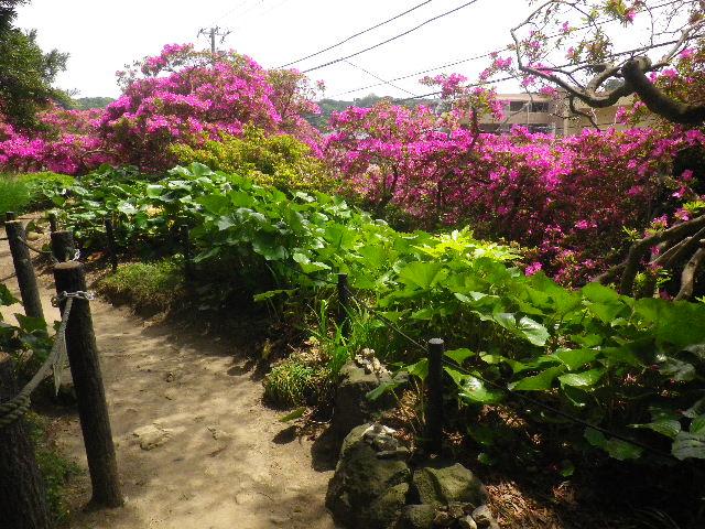 04-2) 15.05.05 ツツジがピークの、鎌倉「安養院」。