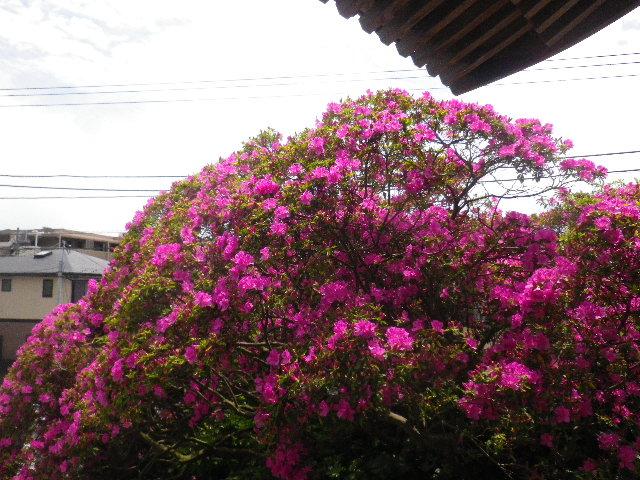 04-4) 15.05.05 ツツジがピークの、鎌倉「安養院」。
