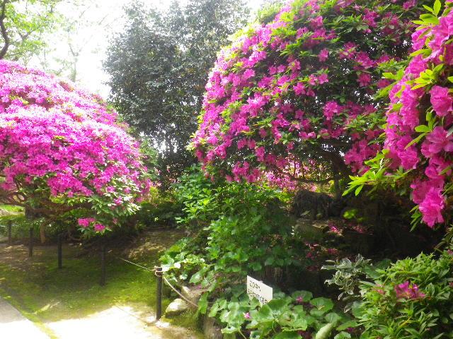 04-5) 15.05.05 ツツジがピークの、鎌倉「安養院」。