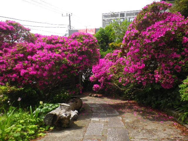 04-7) 15.05.05 ツツジがピークの、鎌倉「安養院」。