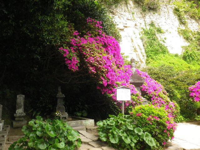05-1) 15.05.05 ツツジがピークの、鎌倉「安養院」。