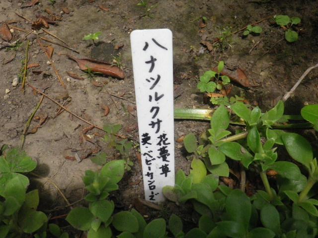 12-1) ハナツルクサ/花蔓草(ベビーサンローズ)
