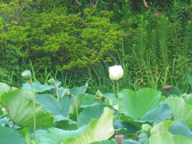 03-4)  ' 平家池 '。 _ 「鶴岡八幡宮」 鎌倉市雪ノ下