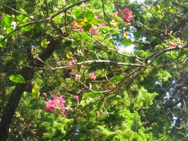 27)  15.09.19 鎌倉「宝戒寺」萩をかき分けて境内を歩く季節