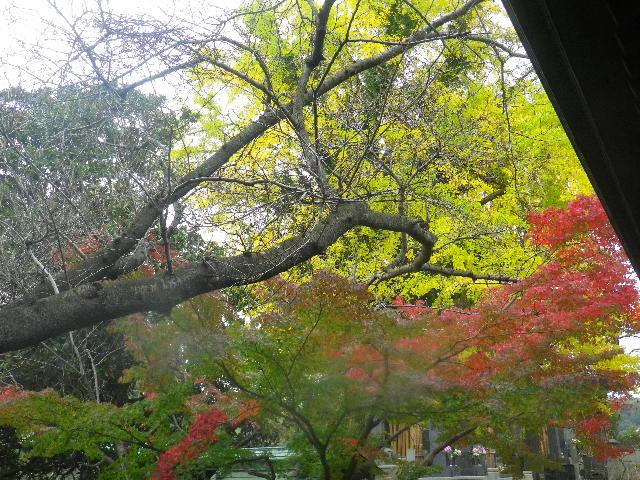 03-2) 銀杏を背景に、先に色づき始めた紅葉。