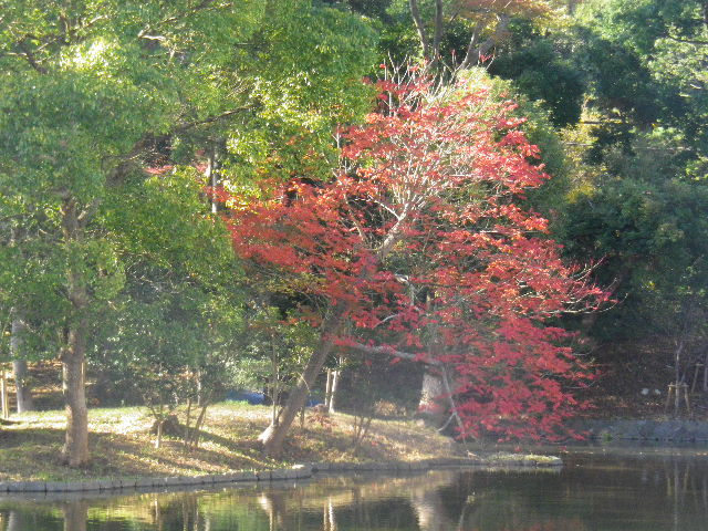 07-2b) 平家池 _ 15.11.30 鎌倉「鶴岡八幡宮」葉が色づき始める頃
