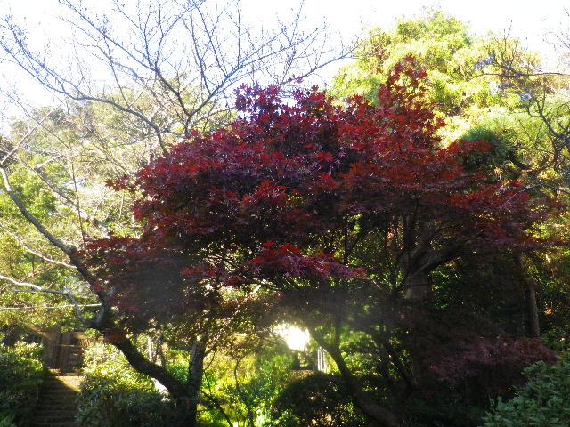 05-1)  15.11.30 鎌倉「浄光明寺」葉が色づく頃
