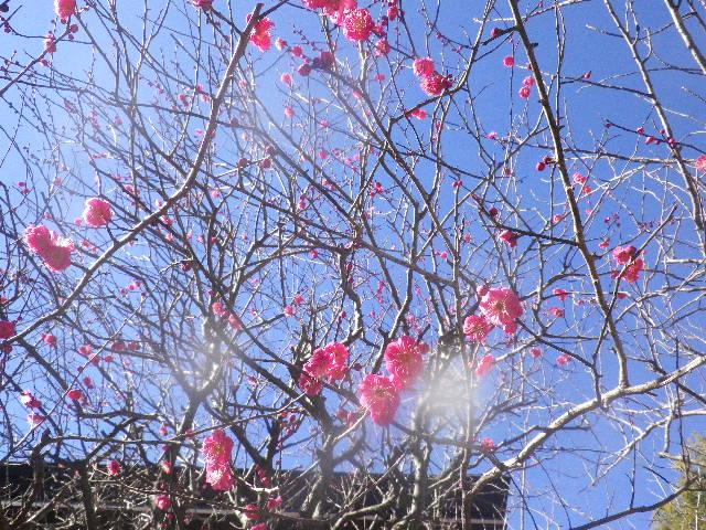 03-2)   16.01.25 消防訓練日だった、鎌倉「妙本寺」の梅。