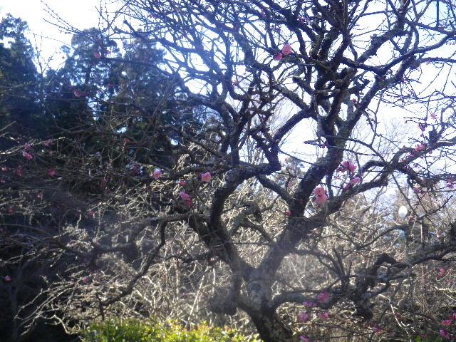 05-1)   16.01.25 消防訓練日だった、鎌倉「妙本寺」の梅。