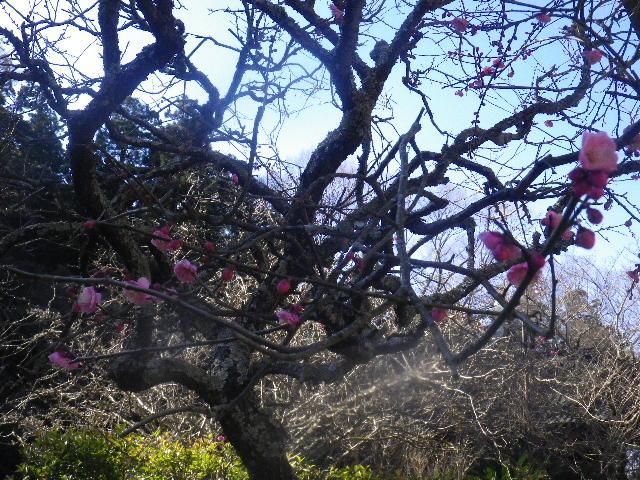 05-2)   16.01.25 消防訓練日だった、鎌倉「妙本寺」の梅。