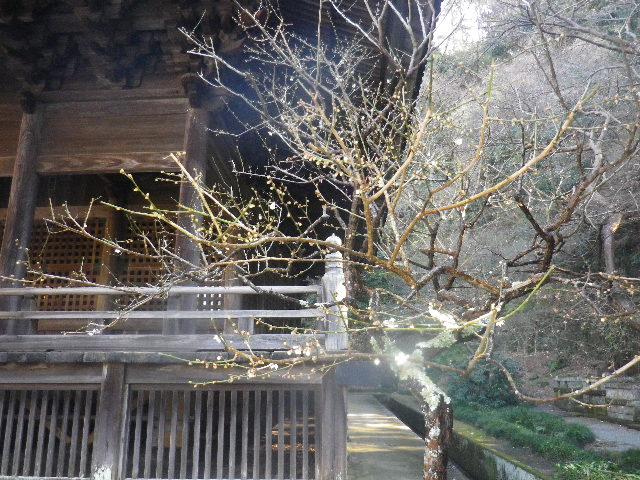 06-1)   16.01.25 消防訓練日だった、鎌倉「妙本寺」の梅。