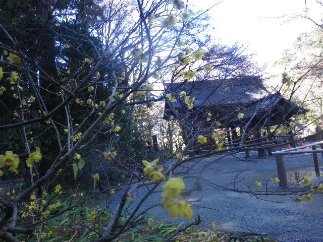 07-2)   16.01.25 消防訓練日だった、鎌倉「妙本寺」の梅。