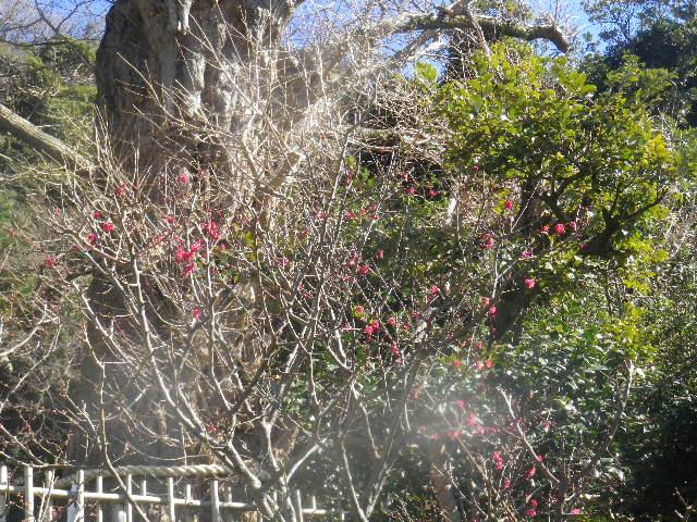 02-2) 階段右側の梅 _ 16.01.27 鎌倉「荏柄天神社」梅満開の頃に初詣