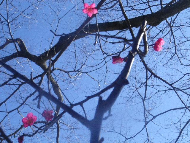 """02-2) ・・・ ・・・"""" 旗上弁財天社 """" へ行ったら、社殿裏の紅梅は咲き始めていた。社殿前境内の白梅は少し先。  _ 16.01.27 鎌倉「鶴岡八幡宮」の梅"""