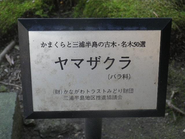 03-1) 妙法桜と呼ばれる、天然記念物 ヤマザクラ。