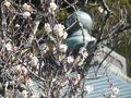01-3)   16.02.10 鎌倉「浄光明寺」ほのぼの、梅が咲き始めましたヨ。