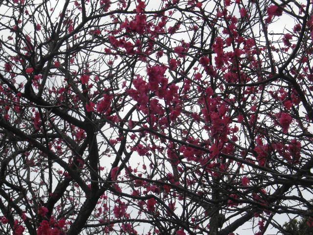 02-2) 手水舎周辺背後の紅梅 _ 16.02.24 本堂改修の足場を解かれた 鎌倉「本覚寺」、祝うように咲く梅と河津桜。