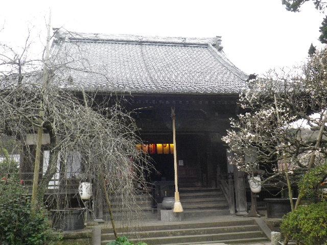 05-1) 16.02.24 満開前で、私にとって見頃の梅 鎌倉「宝戒寺」。