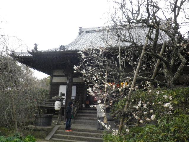 05-2) 16.02.24 満開前で、私にとって見頃の梅 鎌倉「宝戒寺」。