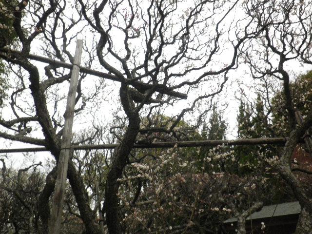 08) 16.02.24 満開前で、私にとって見頃の梅 鎌倉「宝戒寺」。