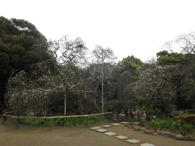 10-01) 16.02.24 満開前で、私にとって見頃の梅 鎌倉「宝戒寺」。